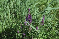 千屈菜属salicaria紫色珍珠菜在草甸增长 免版税库存照片