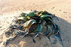 千岁兰健神露,惊人的沙漠植物,生存化石 免版税图库摄影