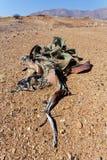 千岁兰健神露,惊人的沙漠植物,生存化石 免版税库存照片