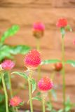 千日红花 库存图片