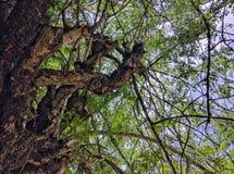 千福年的树 库存照片