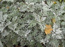 千里光瓜叶菊`银尘土`灌木 库存图片