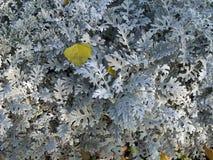 千里光瓜叶菊`银尘土`灌木 库存照片