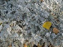 千里光瓜叶菊`银尘土`灌木 图库摄影