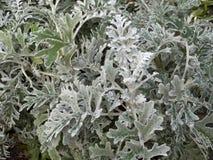 千里光瓜叶菊`银尘土`灌木 免版税图库摄影