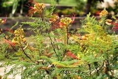 千里光Kleinia植物在庭院里 免版税库存照片