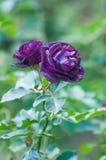 午夜蓝色,紫色玫瑰在庭院里 免版税库存照片
