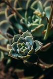 午间太阳的Echeveria多汁植物 图库摄影