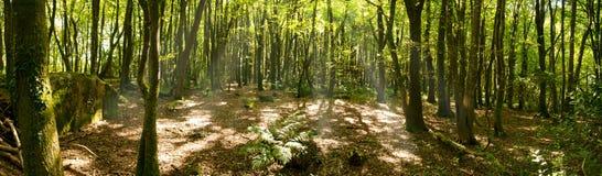 午间太阳的Treslothen森林 库存图片
