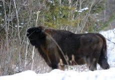 午餐北美野牛 免版税库存照片