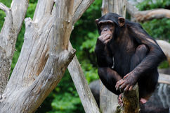 半信半疑的黑猩猩 库存图片