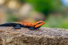 半岛岩石蜥蜴蜥蜴坐岩石 免版税库存图片
