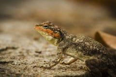 半岛岩石蜥蜴/南部印地安岩石蜥蜴 库存图片