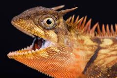 半岛有角的树蜥蜴Acanthosaura armata 库存照片