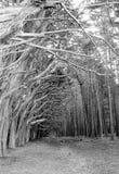 半月湾,加州美国-树走道  免版税图库摄影