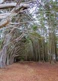 半月湾,加州美国-树走道  库存照片