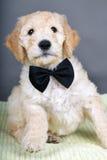 半正式礼服的goldendoodle小狗 库存图片