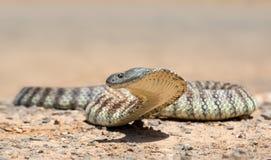 半环恐蛇 库存图片