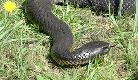 半环恐蛇 免版税库存图片