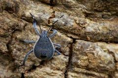 半翅类臭虫的图象在树的 昆虫 敌意 库存图片