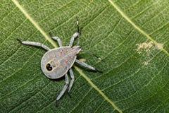 半翅类臭虫的图象在绿色叶子的 昆虫 敌意 免版税库存照片