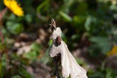 半翅类,无气味的盲椿象 图库摄影