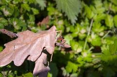 半翅类,无气味的盲椿象 库存照片