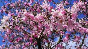 华丽和美丽的木兰stellata桃红色花在分支关闭反对浅兰的背景 免版税库存图片
