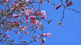 华丽和美丽的木兰stellata桃红色花在分支关闭反对浅兰的背景 图库摄影