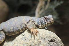 华丽多刺的被盯梢的蜥蜴 免版税库存照片