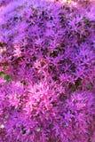 华丽的景天属紫色Bloosoms  免版税库存照片