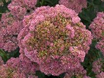 华丽的景天属花在秋天 免版税库存图片