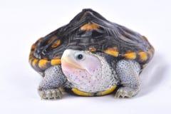 华丽菱纹背响尾蛇水龟, Malaclemys水龟macrospilota 免版税图库摄影