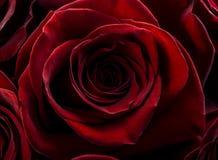 华伦泰玫瑰色背景 免版税库存照片