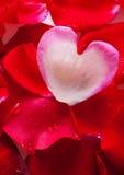 华伦泰玫瑰花瓣心脏。 库存图片