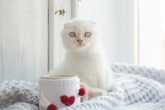 华伦泰题材白色小猫 图库摄影