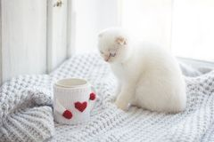 华伦泰题材白色小猫 免版税库存图片