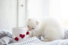 华伦泰题材白色小猫 免版税库存照片