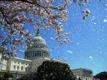 华盛顿国会大厦樱花2010年4月雨  库存图片