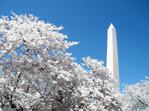 华盛顿在华盛顿纪念碑前面的樱花2010年 免版税图库摄影