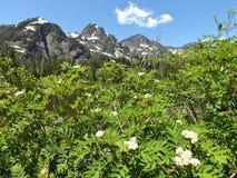 华盛顿山峰顶和花 库存图片