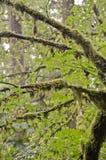 华盛顿州的雨林 免版税图库摄影