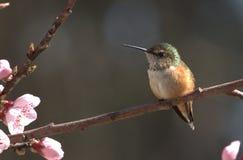 华盛顿州蜂鸟 库存照片