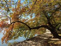 华盛顿特区樱桃树在秋天 免版税库存图片