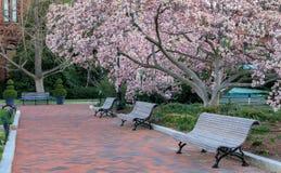 华盛顿特区边路春天绽放 免版税图库摄影