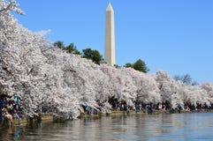 华盛顿特区,哥伦比亚,美国- 2015年4月11日:从潮水坞明轮船,华盛顿特区的樱花 库存图片