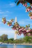 华盛顿纪念碑樱花 库存图片