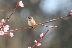 华盛顿蜂鸟 库存照片
