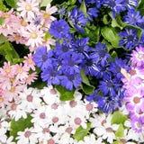 华盛顿雏菊2010年4月 库存图片