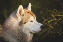 华美和自傲摆在在明亮的森林背景的秋天的狗品种西伯利亚爱斯基摩人外形画象  图库摄影